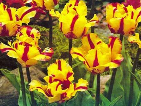 Агротехника выращивания тюльпанов и их сорта