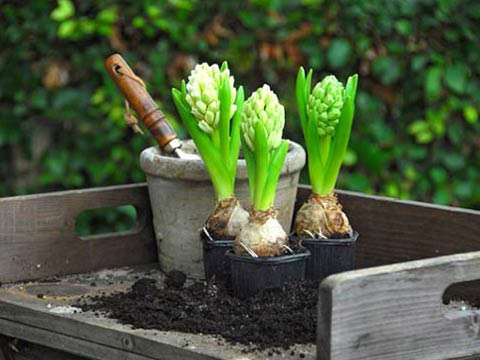 Гиацинты: выращивание, уход