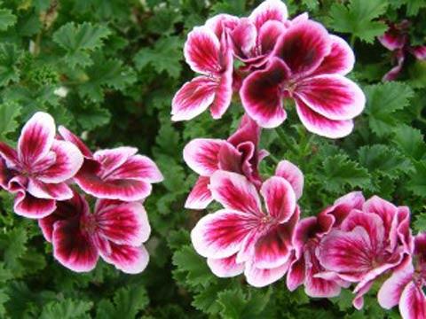 Пеларгония и ее сорта