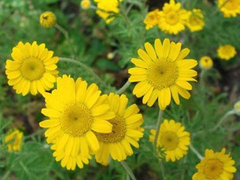 Цветок похожий на ромашку желтый