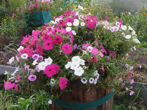 Цветы однолетние на огороде