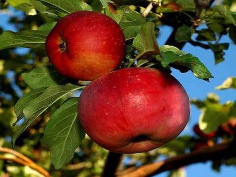 Описание сортов яблонь китаек (бельфлер, золотая, красная и другие ... | 360x480