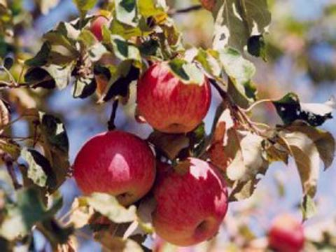 Саженцы яблони Бельфлер Китайка (ММ-106), цена 60 грн., купить с ... | 360x480