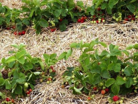Борьба с вредителями клубники после сбора урожая