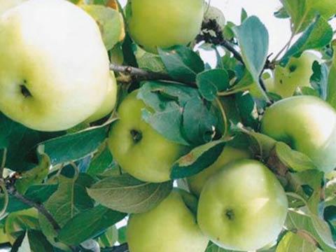 Бабушкины яблоки цвет